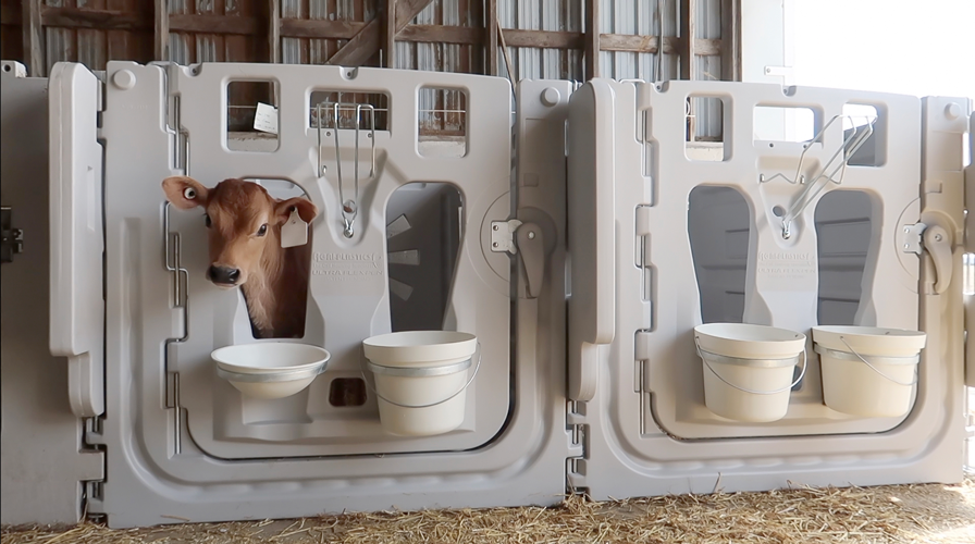 A Versatile housing system for individual or grouped calves